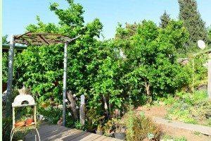 עצי פרי בחצר הספא