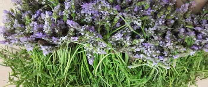 פרחי לבנדר רפואי בתהליך לפני זיקוק
